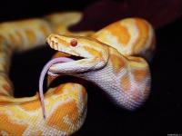 Čūskas skaudība
